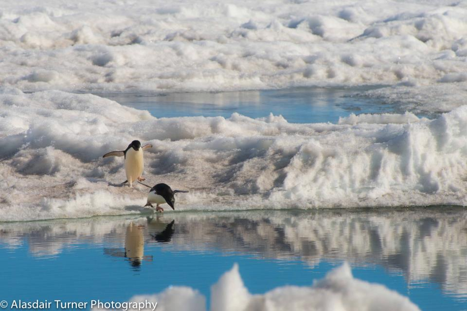 Alasdair_penguins