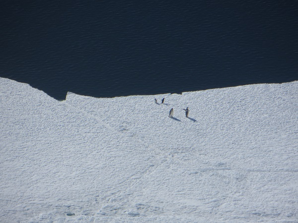 On our way back to McMurdo we saw penguins, such about a dozen penguins and half as many whales!