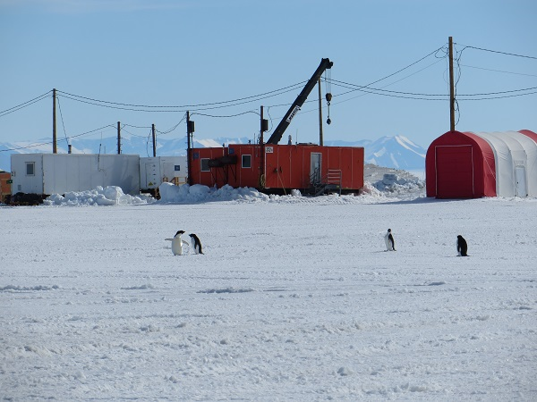 Four Adelie penguins at the airfield