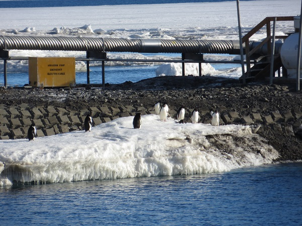 Adelie penguins. We saw them swim along the shore too!