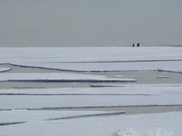 Some Adelie penguins hanging out on broken sea ice.